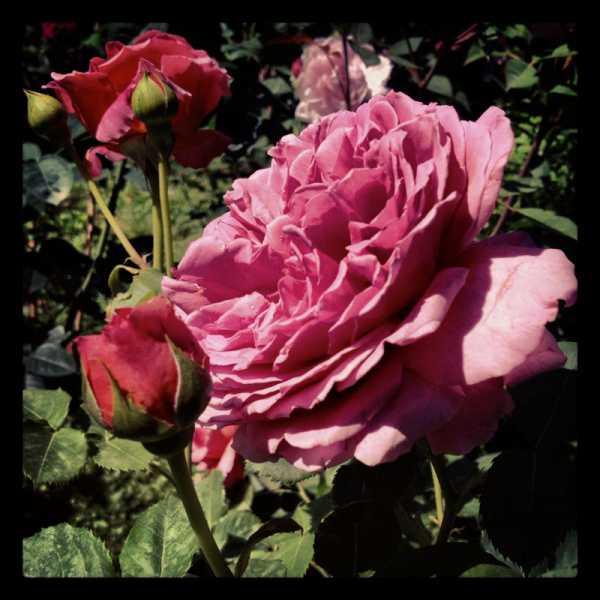 Rose in Villa Giusti 2013